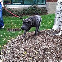 Adopt A Pet :: Nikko - Newport, VT