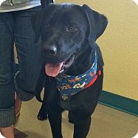 Adopt A Pet :: Goose - Gig Harbor, WA