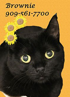 Domestic Shorthair Cat for adoption in Monrovia, California - Bubbly BROWNIE!