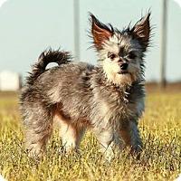 Adopt A Pet :: *Yoshi - PENDING - Westport, CT