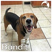 Adopt A Pet :: Bandit - Novi, MI