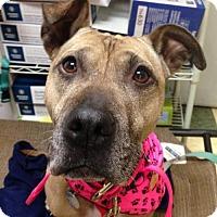 Adopt A Pet :: *Sweetie* - Philadelphia, PA