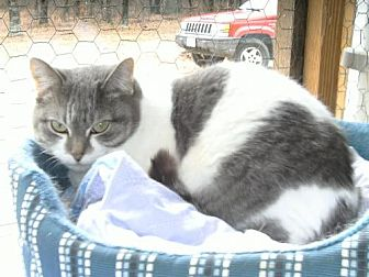 Domestic Shorthair Cat for adoption in Sparta, Wisconsin - Chloe