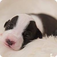 Adopt A Pet :: BeBe Zahara Benet - Greensboro, NC