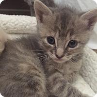 Adopt A Pet :: Thimble - Devon, PA