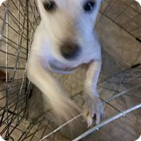 Adopt A Pet :: Terrier Mix Ml - Lomita, CA