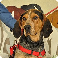 Bluetick Coonhound Mix Dog for adoption in Providence, Rhode Island - Body-URGENT