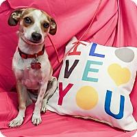 Beagle/Chihuahua Mix Dog for adoption in Mission viejo, California - Peach