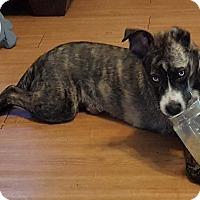 Adopt A Pet :: Bella - Lawrenceville, GA