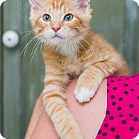 Adopt A Pet :: Amigo Kitten - Miami, FL