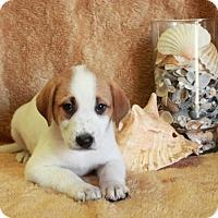 Adopt A Pet :: Boynton - Spring Valley, NY