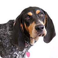 Adopt A Pet :: Ellie - Sudbury, MA