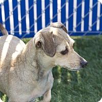 Adopt A Pet :: Nicky - Chula Vista, CA