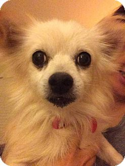 Pomeranian Mix Dog for adoption in Fountain Valley, California - Jewel