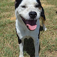 Border Collie/Bulldog Mix Dog for adoption in Lake Pansoffkee, Florida - Lucky
