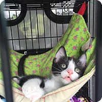 Domestic Shorthair Kitten for adoption in Erwin, Tennessee - Ace