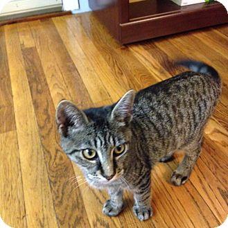 Domestic Shorthair Kitten for adoption in valhalla, New York - BOWS KITTEN