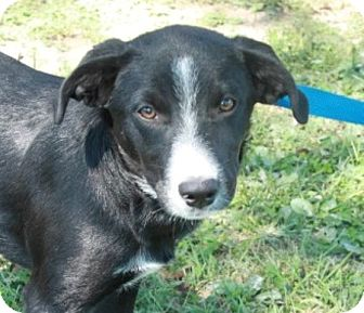 Border Collie/Labrador Retriever Mix Puppy for adoption in Hagerstown, Maryland - Martha