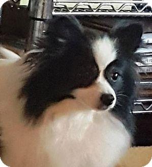Papillon/Pomeranian Mix Dog for adoption in Marietta, Georgia - Pippa (in GA) 3yrs