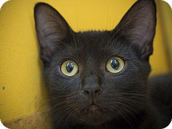 Domestic Shorthair Kitten for adoption in Los Angeles, California - Kanga