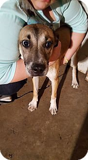 Shepherd (Unknown Type) Mix Dog for adoption in Speedway, Indiana - STRYKER