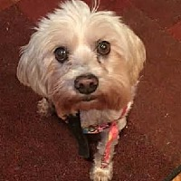 Adopt A Pet :: Bentley - Atlanta, GA