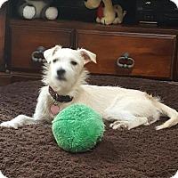 Cairn Terrier Mix Puppy for adoption in Newport Beach, California - Kiki