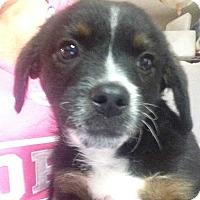 Dachshund Mix Puppy for adoption in E. Greenwhich, Rhode Island - Frankie