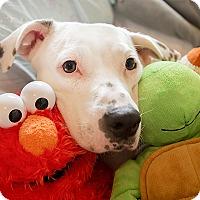 Adopt A Pet :: Dotty - Durham, NC