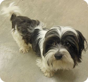Shih Tzu Dog for adoption in Phoenix, Arizona - Finley