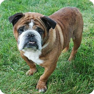 English Bulldog Dog for adoption in Chicago, Illinois - Zeus