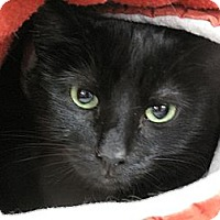 Domestic Shorthair Cat for adoption in Port Republic, Maryland - Midnight