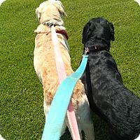 Adopt A Pet :: Chloe and Max-A Lab Love Story - Kirkland, WA