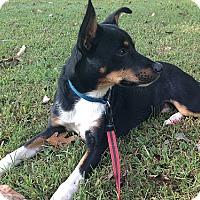 Adopt A Pet :: Sherman - Staunton, VA