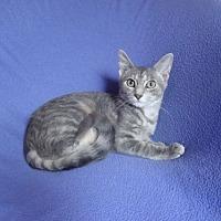 Egyptian Mau Cat for adoption in Sarasota, Florida - Alana