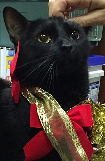 Domestic Shorthair Cat for adoption in Seabrook, New Hampshire - Jack