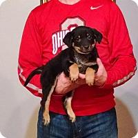 Adopt A Pet :: Maizie - New Philadelphia, OH
