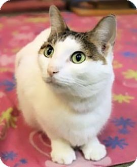 Domestic Shorthair Cat for adoption in Palatine, Illinois - Jasmine