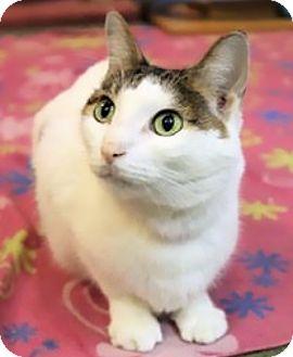 Domestic Shorthair Cat for adoption in Palatine, Illinois - Jasmine