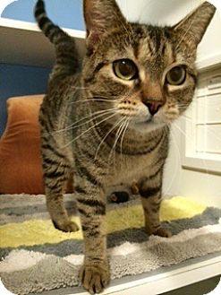 Domestic Shorthair Cat for adoption in Novato, California - Martini