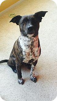 Labrador Retriever/Cattle Dog Mix Dog for adoption in Denver, Colorado - Sophie