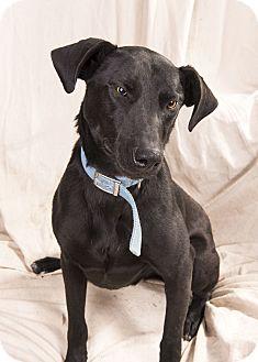 Weimaraner Mix Dog for adoption in St. Louis, Missouri - William Weimarmix