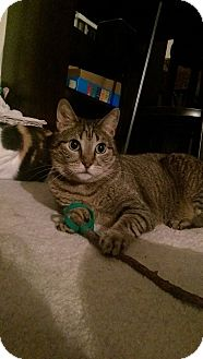 Abyssinian Cat for adoption in San Clemente, California - Maya