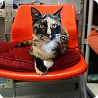 Adopt A Pet :: Olivia 'Silky' - Mt Vernon, NY