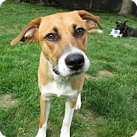 Adopt A Pet :: Joy - Adopted! - Ascutney, VT