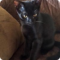 Adopt A Pet :: Nick Furry (from the 'Catvengers' litter) - Alexandria, VA