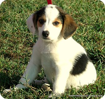 Border Collie/Beagle Mix Puppy for adoption in PRINCETON, Kentucky - BUSTER/ADOPTED