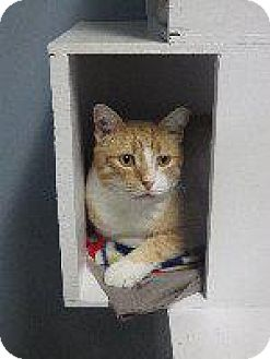 Domestic Shorthair Cat for adoption in Queenstown, Maryland - Milo