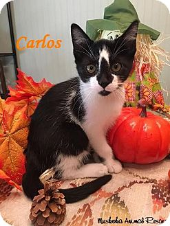 Domestic Shorthair Kitten for adoption in Huntsville, Ontario - Carlos - Stud!