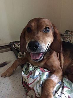 Hound (Unknown Type)/Retriever (Unknown Type) Mix Dog for adoption in Avon, Ohio - Nino